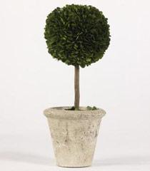 12.9� Boxwood Single Ball Topiary in Pot
