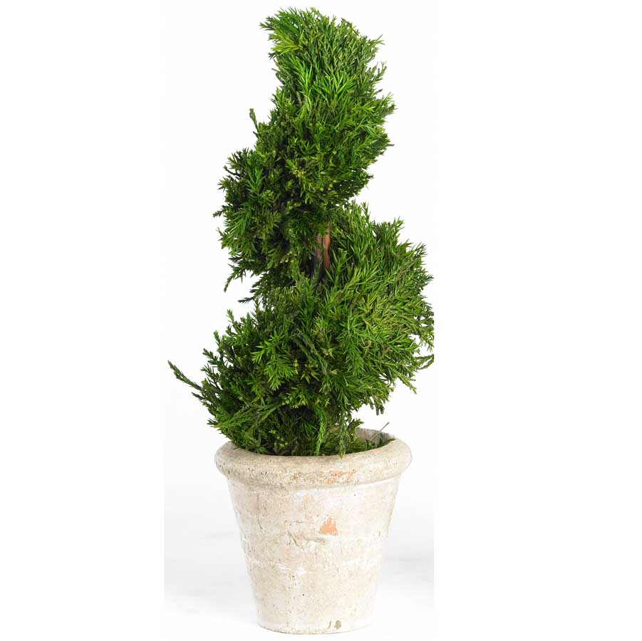 16� Potted Spiral Cypress Topiary