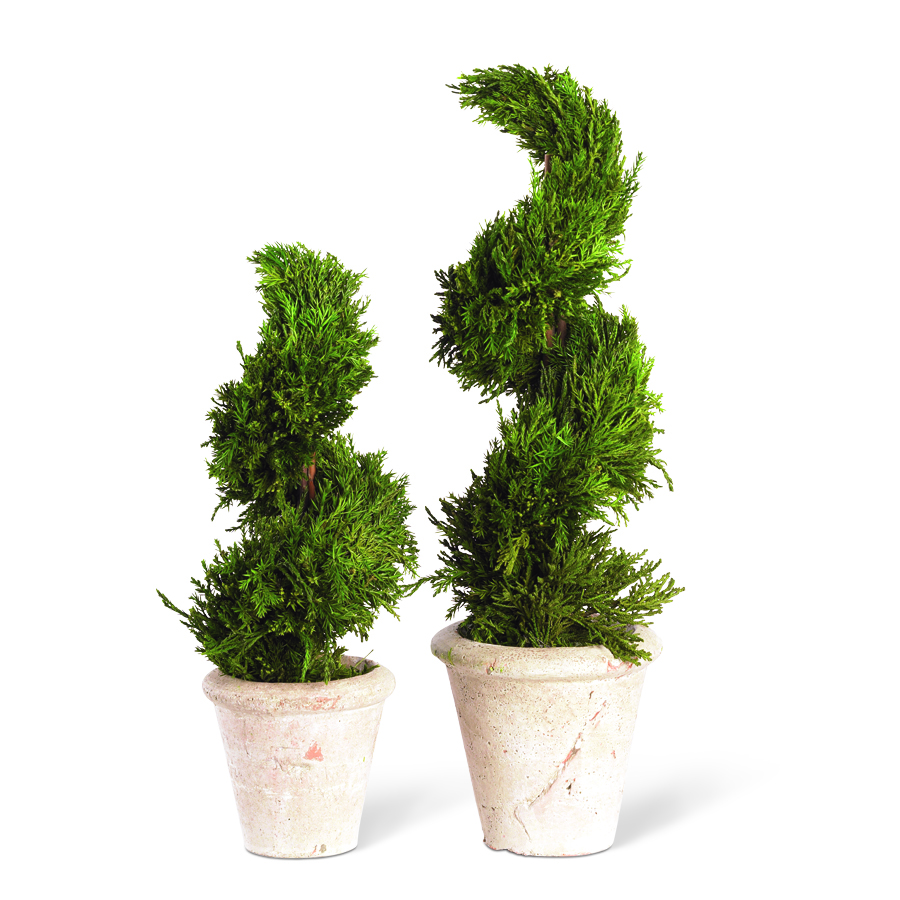 20� Potted Spiral Cypress Topiary
