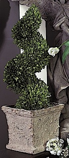 Large Spiral Boxwood Topiary in Pot